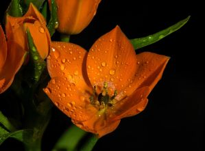 flower orange stock 03 by NellyGrace3103