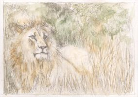Lion Study by KatyAmlie