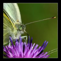 cabbage butterfly by albatros1