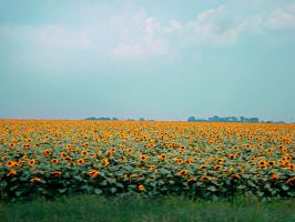 Sunflower fields forever by The-Silver-Doe