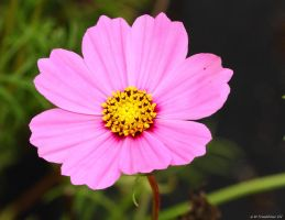 Pink and Yellow by natureguy