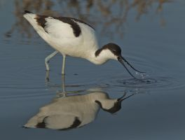 Scoop of the day - Avocet by Jamie-MacArthur