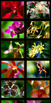 Orchids of Singapore 2008 by Samatar
