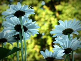 Daisies in morning light by April-Mo