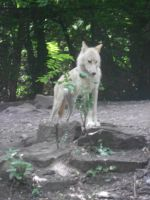 Hudson Bay wolf by whisperingwolvesx27