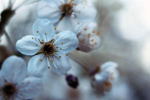 blossom by Dueto-variavel
