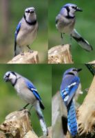Blue Jay Pack 01 by Thy-Darkest-Hour
