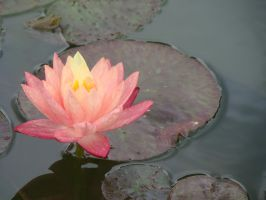 Lilly Pad Flower by morghach