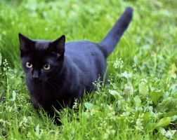 The Black Cat: Summer by xeranas