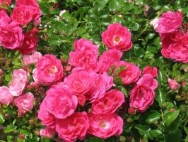 Wild Roses by BreezeStock