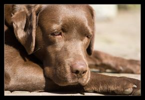 brown labrador by foreversanne