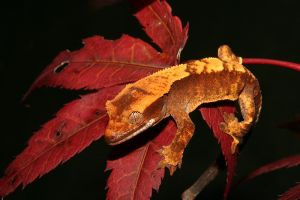 Autumn crested gecko 3 by AngiWallace