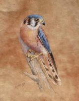 Male Kestrel by AinsleyM