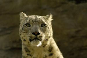 Snow leopard 4 by shaunthorpe
