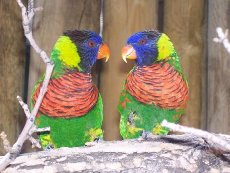 Lorikeets I by Up-Is-Down