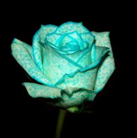 Spotted Blue Rose - Stock by Ogrefairy