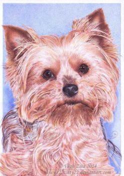 Yorkshire terrier ball pen drawing by 22Zitty22