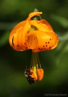 Columbia Lily Pollination by austinboothphoto