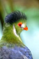 White cheeked Touraco by teslaextreme