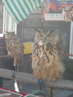 Eagle owls by Feawing