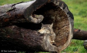 WOLF IN THE HOLLOW LOG by Yair-Leibovich
