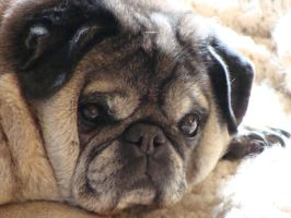 Pug by pashat07