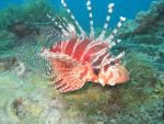 Lionfish by Trojaner93