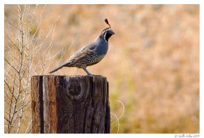 California Quail by Swordtemper