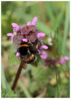 bumblebee on a flower by Claudia008