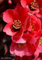 Quince Essentially Red by Scooby777
