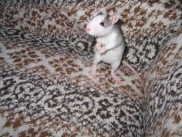 Baby Husky Ratty on the bedspread on the couch. by Eternatease