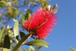 Bottlebrush by apparate