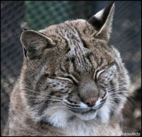 Bobcat Profile 4 by SilkenWinds