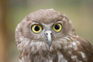 Barking Owl by HeyNay