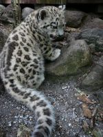 Ilyan the snow leopard cub by mazatael