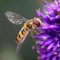 Hoverfly II by not-in-my-lifetime