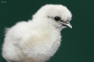 Bantam Splash Silkie Chick by Innocentium