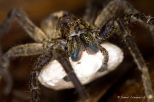 Lycosidae with egg sack 01 by dllavaneras