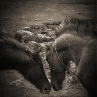 Brown Horses by fotottiv