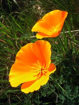 poppies by kilword