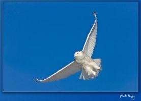 Snowy Owl Saskatchewan by pictureguy