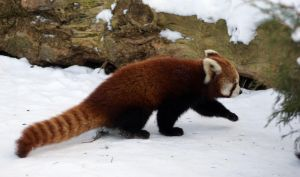 Red Panda 2 by Vertor