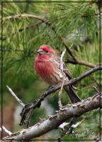 House Finch by sunflowervlg