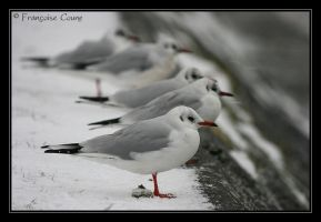Gulls under snow by macareux24