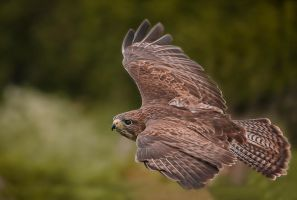Flight of the Buzzard by mansaards