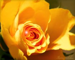Yellow rose by Noncsi28