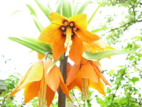 Crown Imperial by 29thday