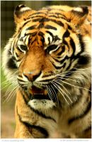 Sumatran Tigress by In-the-picture