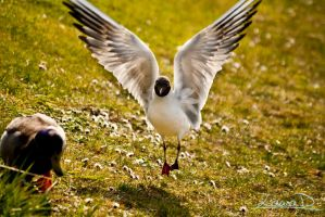 black-headed gull by LauraID