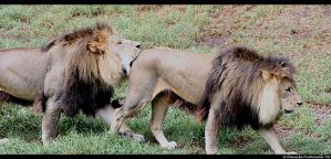 Lions: Bum Biting by TVD-Photography